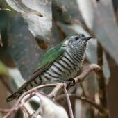 Shining cuckoo. Adult. Mapua, Tasman district, October 2016. Image © Rob Lynch by Rob Lynch