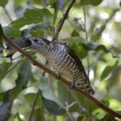 Shining cuckoo. Fledgling being fed by grey warbler. Rangitane, Kerikeri Inlet, January 2013. Image © Robin Colquhoun by Robin Colquhoun