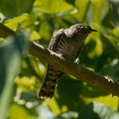 Shining cuckoo. Juvenile. Little Barrier Island. Image © Terry Greene by Terry Greene