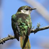 Shining cuckoo. Dorsal view of adult. Wanganui, November 2012. Image © Ormond Torr by Ormond Torr