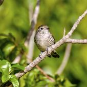 Shining cuckoo. Part of sequence grey warbler feeding cuckoo chick. Sandy Bay, Whangarei, January 2014. Image © Malcolm Pullman by Malcolm Pullman aqualine@igrin.co.nz