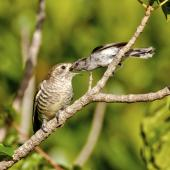 Shining cuckoo. Part of sequence grey warbler feeding cuckoo chick. Sandy Bay, Northland, January 2014. Image © Malcolm Pullman by Malcolm Pullman aqualine@igrin.co.nz