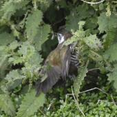 Shining cuckoo. Adult taking red admiral butterfly caterpillars from tree nettle. Monro Beach, South Westland, November 2016. Image © Gerry McSweeney by Gerry McSweeney www.wildernesslodge.co.nz/wildernesslodge/lake-moeraki/