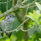 Shining cuckoo. Adult near a grey warbler nest (another cuckoo was also present). Manawatu, October 2017. Image © Imogen Warren by Imogen Warren