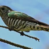 Shining cuckoo. Adult. Wellington, January 2009. Image © Duncan Watson by Duncan Watson