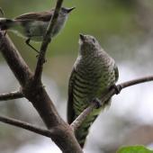 Shining cuckoo. Juvenile with grey warbler. Blowhard Bush, Hawke's Bay, February 2010. Image © Adam Clarke by Adam Clarke