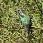 Shining cuckoo. Dorsal view of immature. Grovetown Lagoons, Marlborough, February 2017. Image © Bill Cash by Bill Cash