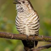 Shining cuckoo. Adult calling from tree branch. Logan Park High School, Dunedin, October 2014. Image © Paul Sorrell by Paul Sorrell