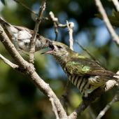 Shining cuckoo. Fledgling being fed by grey warbler. Sandy Bay, Whangarei, November 2010. Image © Malcolm Pullman by Malcolm Pullman Pullmanpix.kiwi.nz
