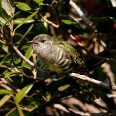 Shining cuckoo. Fledgling calling to grey warbler foster-parent. Sandy Bay, Whangarei, November 2010. Image © Malcolm Pullman by Malcolm Pullman www.pullmanpix.kiwi.nz