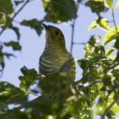 Shining cuckoo. Juvenile. Tikokino, Central Hawke's Bay, March 2016. Image © Cheryl Walton by Cheryl Walton