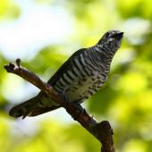 Shining cuckoo. Adult. Palmerston North, October 2010. Image © Craig Steed by Craig Steed