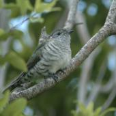 Shining cuckoo. Juvenile. Coatesville, North Auckland, January 2009. Image © Mark Seabrook-Davison by Mark Seabrook-Davison
