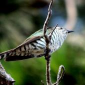 Shining cuckoo. Adult. Cape Kidnappers, December 2007. Image © Dick Porter by Dick Porter