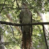 Long-tailed cuckoo. Adult calling. Blowhard Bush, Hawke's Bay, January 2013. Image © Adam Clarke by Adam Clarke