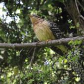 Long-tailed cuckoo. Juvenile. Blowhard Bush, Hawke's Bay, January 2012. Image © Adam Clarke by Adam Clarke