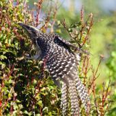 Long-tailed cuckoo. Juvenile on migration. Waiake, North Shore, Auckland, May 2015. Image © Deborah Snape by Deborah Snape