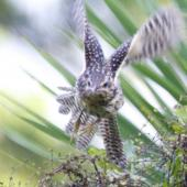 Long-tailed cuckoo. Juvenile on migration. Waiake, North Shore, Auckland, May 2015. Image © Deborah Snape by Deborah Snape