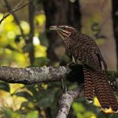 Long-tailed cuckoo. Adult perched, viewed from rear. Boundary Stream, Napier, December 2017. Image © Oscar Thomas by Oscar Thomas