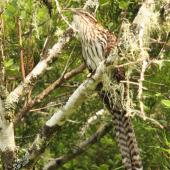 Long-tailed cuckoo. Adult. Whirinaki Forest, January 2012. Image © Tom Lynch by Tom Lynch