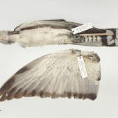 Channel-billed cuckoo. Beach-wrecked specimen. Specimen registration no. OR.025346; image no. MA_I295018. Ocean Beach, Raglan, October 1996. Image © Te Papa See Te Papa website: http://collections.tepapa.govt.nz/objectdetails.aspx?irn=629821&term=OR.025346