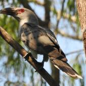 Channel-billed cuckoo. Adult. Jowalbinna, North Queensland, October 2015. Image © Ray Pierce by Ray Pierce