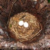Morepork. Nest with eggs in dead treefern. Lower Hutt, December 2007. Image © John Flux by John Flux