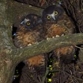 Morepork. Two fledglings. Wellington, January 2009. Image © Peter Reese by Peter Reese