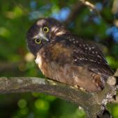 Morepork. Newly fledged young. Wellington, January 2009. Image © Peter Reese by Peter Reese