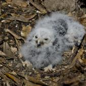 Morepork. Chicks in nest. Motutapu Island, November 2012. Image © Art Polkanov by Art Polkanov