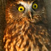 Morepork. Adult in captivity. Bird Rescue Wanganui, Turakina, May 2012. Image © Ormond Torr by Ormond Torr
