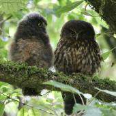 Morepork. Adult (right) roosting with large chick. Blowhard Bush, Hawke's Bay, December 2014. Image © Adam Clarke by Adam Clarke
