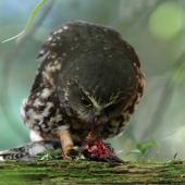 Morepork. Adult feeding on starling. Lake Opouahi, Hawke's Bay, April 2014. Image © Adam Clarke by Adam Clarke