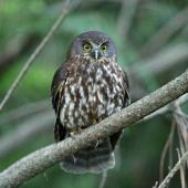 Morepork. Adult perched on branch at dusk. Kerikeri, December 2014. Image © Duncan Watson by Duncan Watson