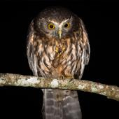 Morepork. Adult eating tree weta. Bushy Park Wanganui, December 2015. Image © John and Melody Anderson, Wayfarer International Ltd by John and Melody Anderson Love our Birds®| www.wayfarerimages.co.nz