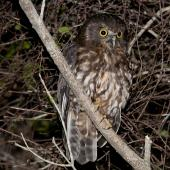 Morepork. Adult at night. Tiritiri Matangi Island, November 2012. Image © Philip Griffin by Philip Griffin
