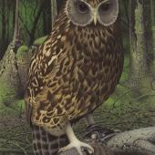 Laughing owl. Image 2006-0010-1/57 from the series 'Extinct birds of New Zealand'. Masterton. Image © Purchased 2006. © Te Papa by Paul Martinson See Te Papa website: http://collections.tepapa.govt.nz/objectdetails.aspx?irn=710960&term=laughing+owl