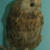 Laughing owl. Adult in Southland Museum. . Image © Alan Tennyson & Southland Museum and Art Gallery Niho o te Taniwha by Alan Tennyson