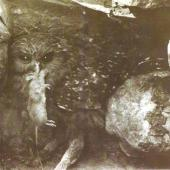 Laughing owl. Young bird with rodent at its nest in a cavity under a limestone boulder. Raincliff Station, Opihi River, South Canterbury. Image © No known copyright restrictions by  Cuthbert & Oliver Parr A young bird photographed at its nest in a cavity under a limestone boulder by Cuthbert and Oliver Parr. This photograph was taken about the year 1909 at Raincliff Station, Opihi River, South Canterbury.