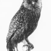 Laughing owl. Mounted bird from Te Papa collection. Dominion Museum (now Te Papa), October 1959. Image © Department of Conservation (image ref: 10055361) by John Kendrick, Department of Conservation Courtesy of Department of Conservation