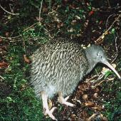 Southern brown kiwi. Adult South Island brown kiwi. Resolution Island, Fiordland, January 1987. Image © Department of Conservation ( image ref:10033903 ) by Rogan Colbourne, Department of Conservation  Courtesy of Department of Conservation