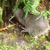 Southern brown kiwi. Adult in undergrowth. Milford Track, Fiordland National Park, November 2009. Image © Department of Conservation ( image ref: 10066524 ) by Anne Russell Department of Conservation  Courtesy of Department of Conservation