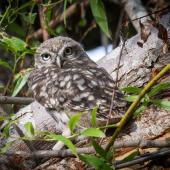 Little owl. Fledgling (approximately 30 days old) outside the nest site. Coopers Creek, Oxford, North Canterbury, December 2014. Image © Victoria Caseley by Victoria Caseley Courtesy of Victoria Caseley victoria.caseley@gmail.com