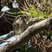 Little owl. Fledgling (approximately 40 days old) near the nest site. Coopers Creek, Oxford, North Canterbury, January 2015. Image © Victoria Caseley by Victoria Caseley Courtesy of Victoria Caseley victoria.caseley@gmail.com
