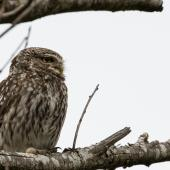Little owl. Adult near its nest site. Coopers Creek, Oxford, North Canterbury, January 2015. Image © Victoria Caseley by Victoria Caseley Courtesy of Victoria Caseley victoria.caseley@gmail.com