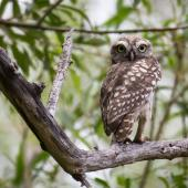 Little owl. Juvenile (approximately 70 days old) near the nest site. Coopers Creek, Oxford, North Canterbury, February 2015. Image © Victoria Caseley by Victoria Caseley Courtesy of Victoria Caseley victoria.caseley@gmail.com