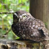 Little owl. Adult in captivity. Owlcatraz, Shannon, November 2008. Image © Duncan Watson by Duncan Watson