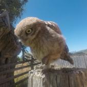 Little owl. Fledgling. Pakawau, Golden Bay, January 2020. Image © Jennifer Chapman by Jennifer Chapman