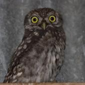 Little owl. Adult roosting inside shed. Riverton, Western Southland, October 2011. Image © Glenda Rees by Glenda Rees Glenda Rees (http://www.flickr.com/photos/nzsamphotofanatic/)