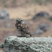 Little owl. Adult. Alexandra, Central Otago, December 2014. Image © Bruce McKinlay by Bruce McKinlay